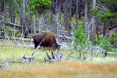 American Bison on Geyser Hill (near Old Faithful Inn), Yellowstone National Park, Wyoming