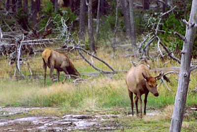 American Elk on Geyser Hill (near Old Faithful Inn), Yellowstone National Park, Wyoming