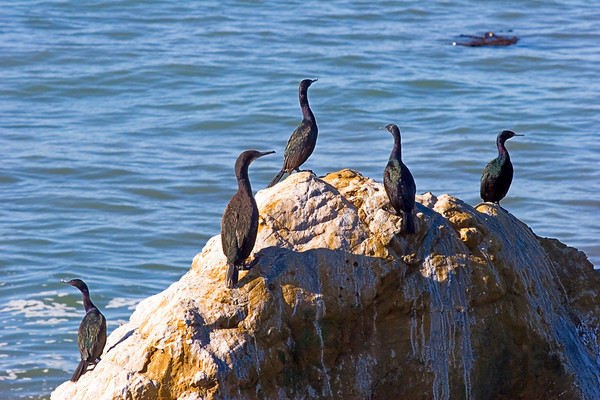 Cormorants off the California Coast