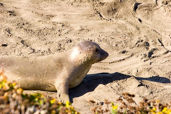 Elephant Seals on the California Coast