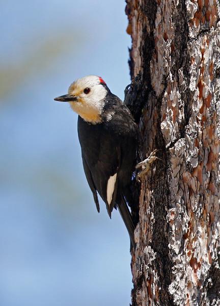 White-headed woodpecker at Echo Lake