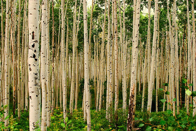 Aspen Grove in The Morning Sunlight