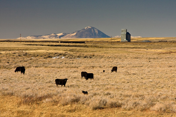 Cattle on the Montana Open Range