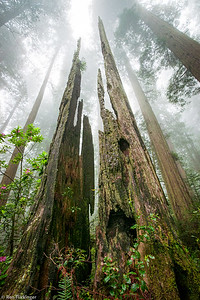 Redwood Remains