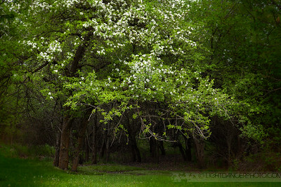 Wild Apple Grove