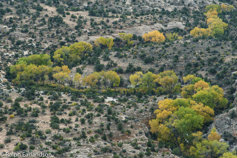 Cottonwood trees in fall color along a stream as seen from Utah Highway 12.