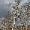 An aspen in the high country along Utah Highway 12, about to come into leaf.