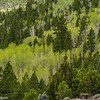 Spring at 8000+ feet along Utah Highway 12, with aspens coming into leaf. Evergreen trees provide the darker shades of green.
