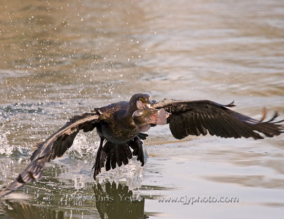 Double-crested Cormorant & Catfish