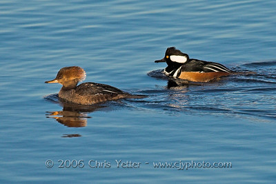 Hooded Merganser Female & Male