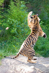 Tiger do not catch thrown food well.