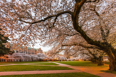 Crooked Tree - University of Washington Cherry Blossoms in the Quad