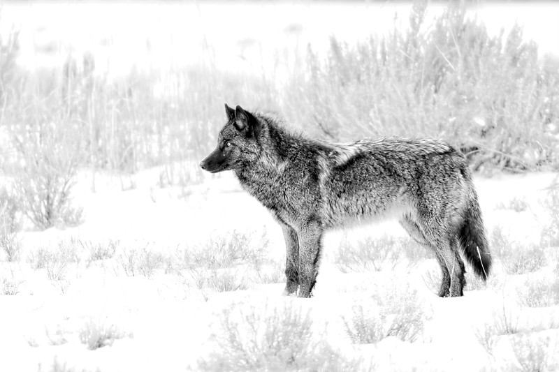 Black and White Version of Junction Butte Pack Wolf