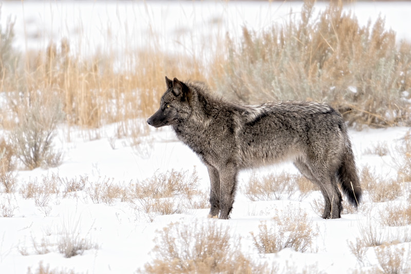 Young wolf from the Junction Butte Pack in Yellowstone NP