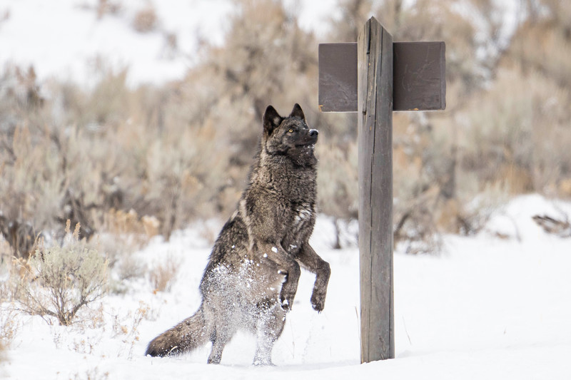A young wolf appears to be reading the trail head sign