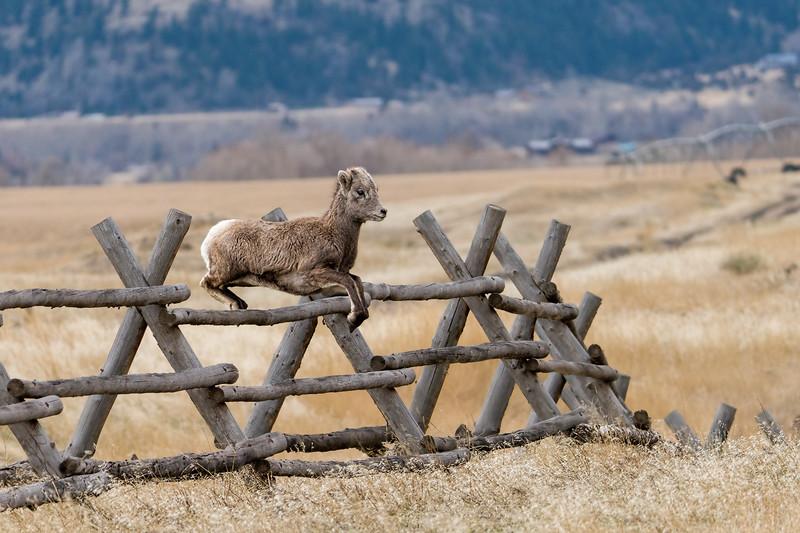 A Bighorn Lamb will follow Mom anywhere