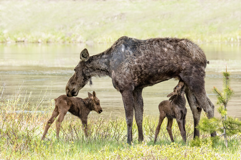Moose newborns