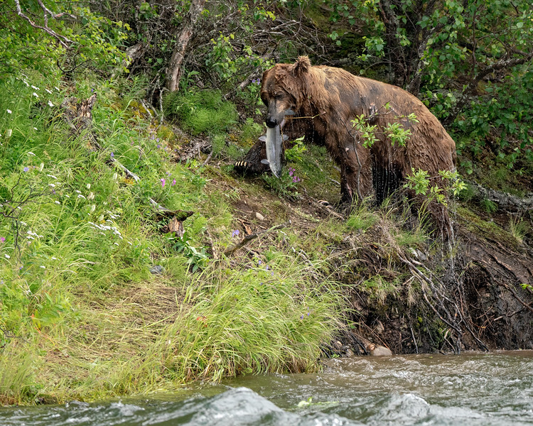 Katmai Brown Bear scores a salmon