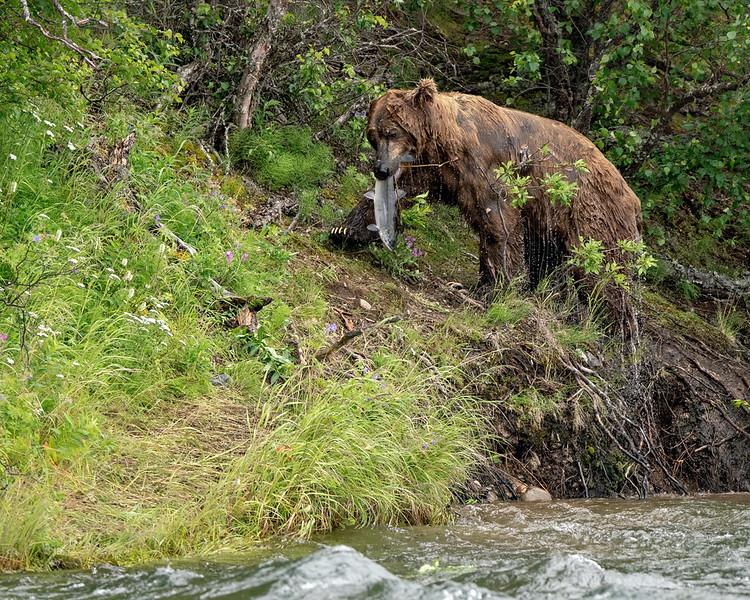 Katmai Brown Bear scores a salmon