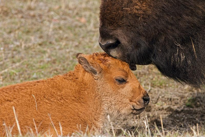New born bison