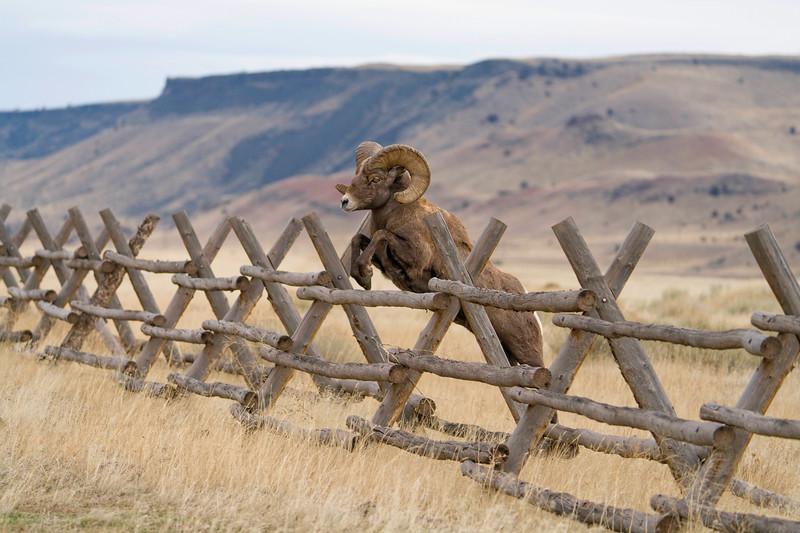 A Big Horn Ram sails over a jack fence