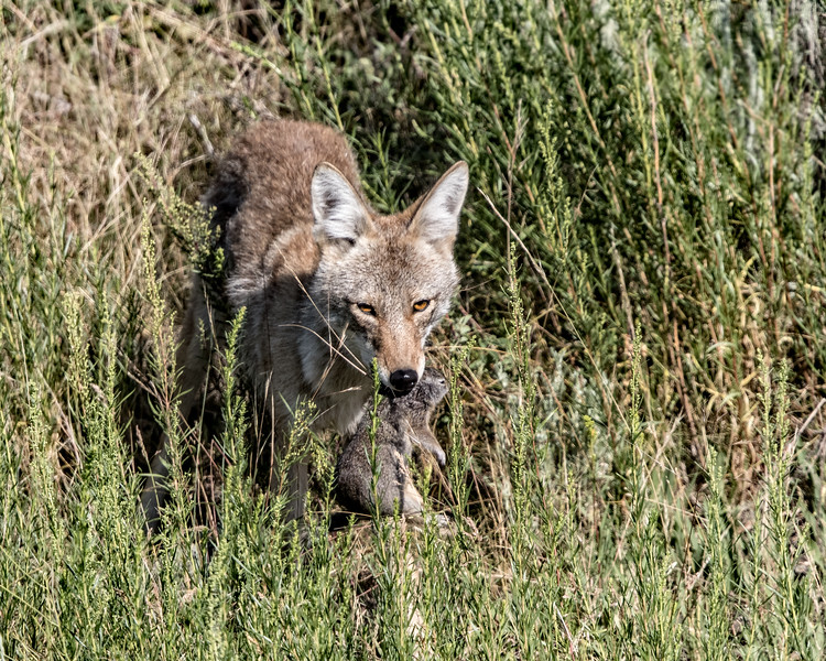 Young Coyote scores a meal