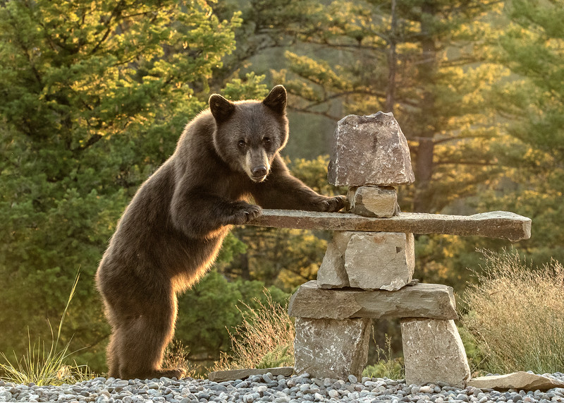 A cinnamon Colored Black Bear examines a stone cairn in Big Sky MT