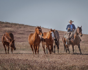 Gathering Saddle Horses
