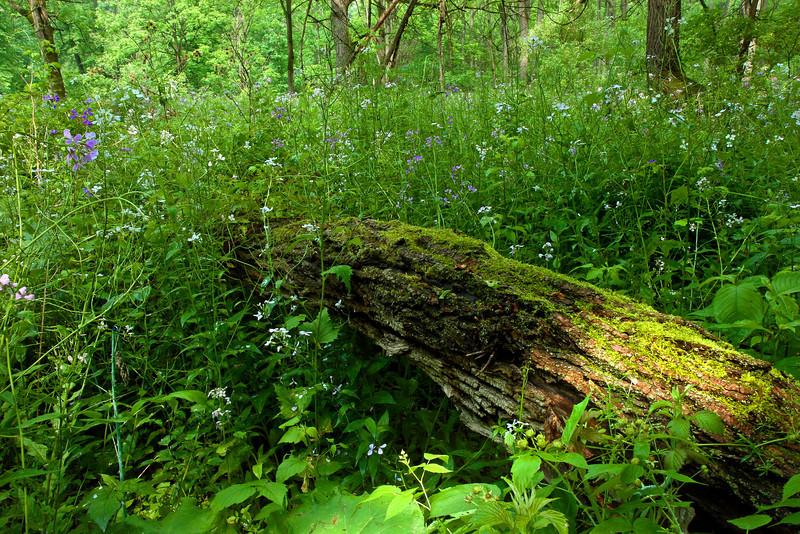 Image #8287<br /> Spring wildflowers in Letchworth State Park, Western N. Y.