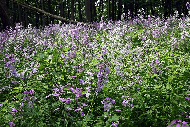Image #7349<br /> Spring wildflowers in Letchworth State Park, Western N. Y.