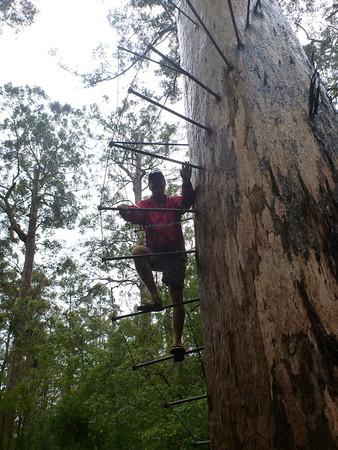 Bi-cintennial tree near Pemberton