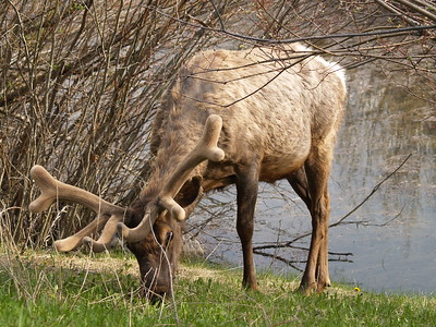 Elk on the Bow River Parkway (2007) - yes, I'm a lot closer than I should be!