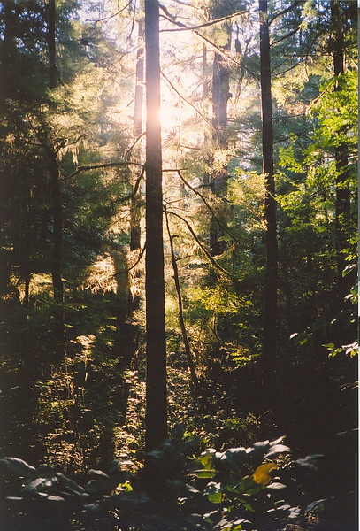 The early evening sunlight filters through the moss-hung trees on Meares Island. The island is protected from logging and development. It is part of the Clayoquot Sound Biosphere (2004).