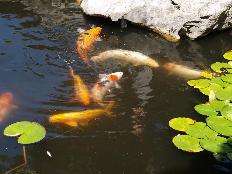 Koi pond at Sun Yat-Sen Classical Chinese Gardens (2009).