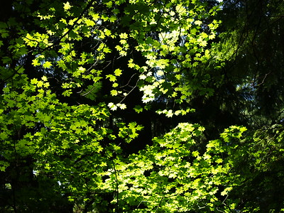 I stopped to catch my breath on the hike back up from the Twin Falls area and looked up through the canopy. The sun was filtering through the leaves. It was very lovely (2006).