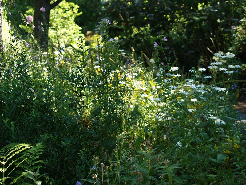 Showy woodland and white shasta daisies at Van Dusen Botanical Gardens (2006).