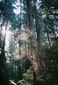 Early morning light at Lynn Canyon in North Vancouver. It's difficult to see but there are lacy cobwebs in the brnach of this tree. This was the last year (2005) that I used film.