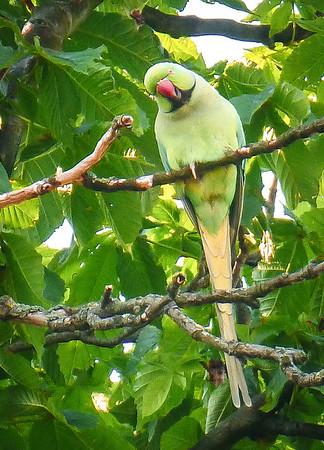 Amsterdam Wild rose-ringed parakeet of Amsterdam.