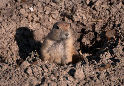 Prairie Dog, Badlands