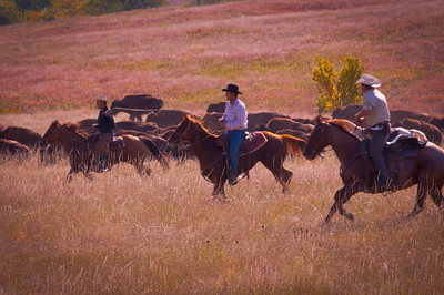 Buffalo Roundup, Custer, SD