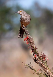 Long Billed Thrasher
