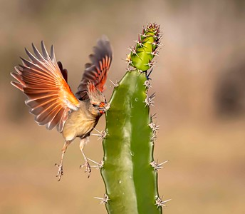 Pyrrhuloxia (female Cardinal)