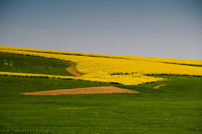 Wheat and Canola, The Palouse, WA