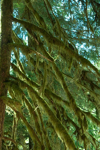 Hoh Rain forest mossy tree, Olympic NP