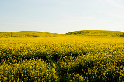 Canola Fields, The Palouse, WA