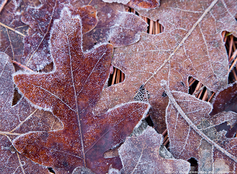 Frosted Leaves, Boynton Canyon
