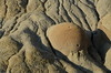 Cannonball Concretions