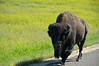 Handsome bison bull on road