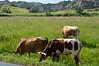Longhorn cattle graze in the park