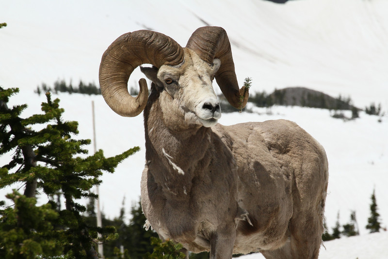 Bighorn sheep, Glacier NP